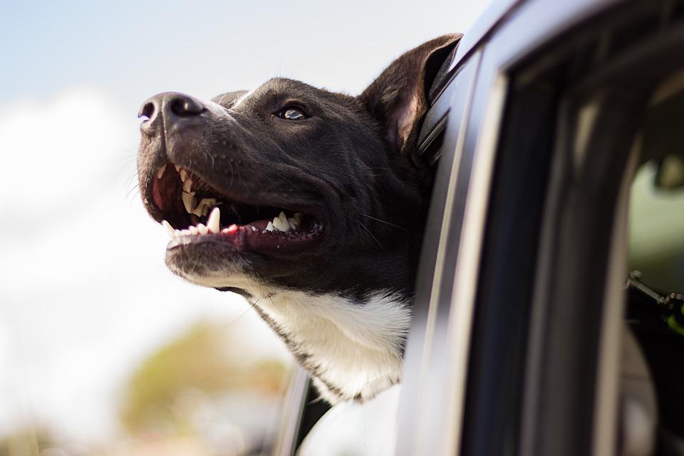 dog friendly car rental, dog in rental car, car rental dog friendly